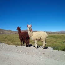 Lama al Paca on the altitude of 4600 m