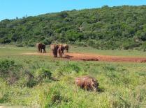 Addo elephant park, deutlich kleiner als der Krüger National park, aber sehr schön