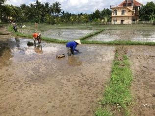 Bauern im Reisfeld