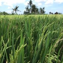 Fast fertiger Reis