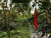 Chili wächst direkt unter den Mandarinenbäumen