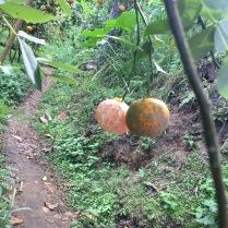 Geschält wachsen die Mandarinen leider noch nicht