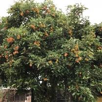 Der dazugehörige Rambutan Baum
