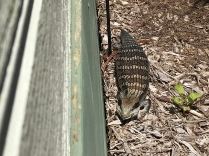This blue tongue was visiting us and stand in front of the door