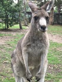 Kangaroos are everywhere