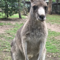 Kangaroos are everywhere