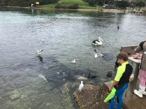 Stingrays, Pelicans and others are waiting for fish waste from daily catch