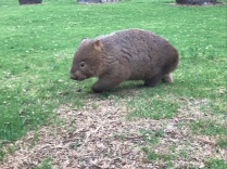 Wilder Wombat - ganz nahe