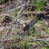 Pathes our path, one of the venomous snakes in Australia, a black tiger