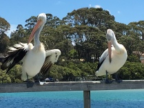 The wild Pelicans at the Mossy Point