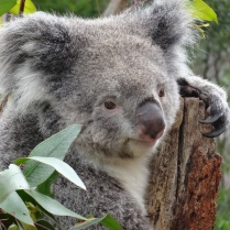 Koalas in a national animal park - fantastic! They are sleeping up to 20 hours and having food for the rest of the day